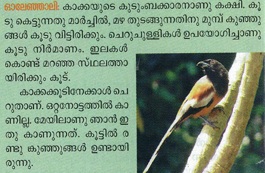 copyright violation of photograph of the indian treepie bird