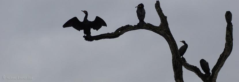 Silhouette of the Great Cormorant, Phalacrocorax carbo, at Periyar wildlife sanctuary, Thekkady