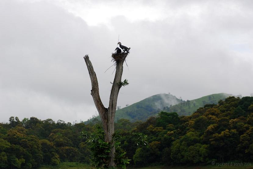 Nesting of the Great Cormorant, Phalacrocorax carbo, at Periyar wildlife sanctuary, Thekkady