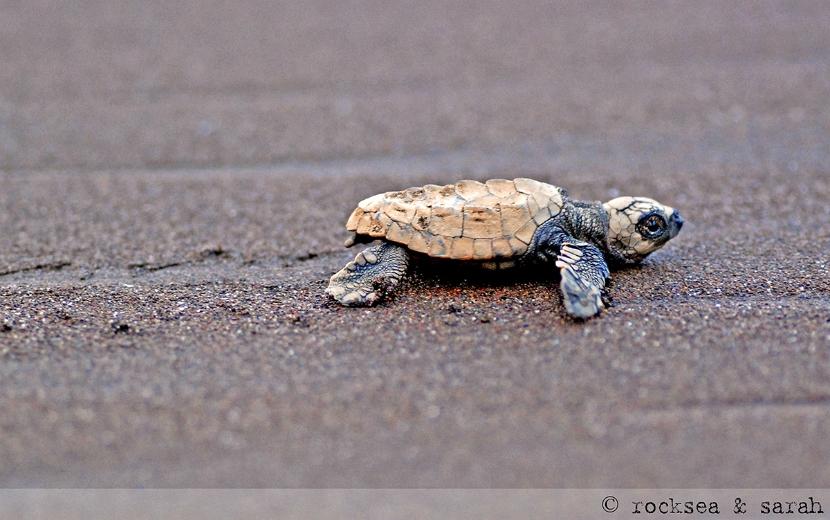 Olive Ridley Turtle hatchling, Velas, Maharashtra