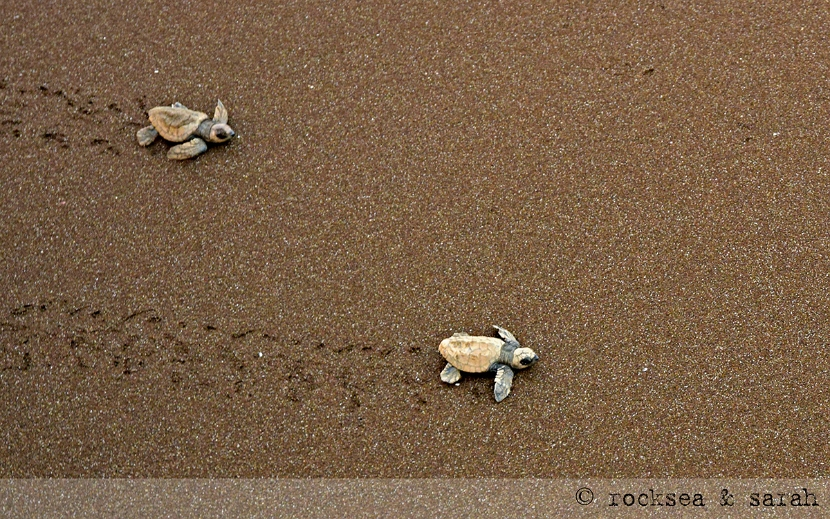 Olive Ridley Turtle hatchlings moving to the sea, Velas, Maharashtra