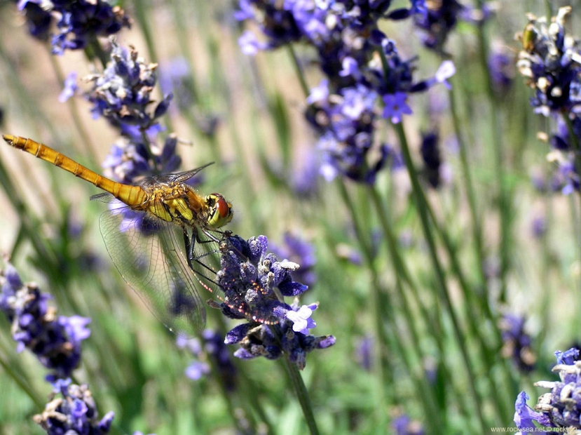 sympetrum-lavender * of lavenders and dragonflies.. a dragonfly of the genus sympetrum @ the Lavender fields of Furano * of lavenders and dragonflies.. a dragonfly of the genus sympetrum @ the Lavender fields of Furano * 1024 x 766 * (192KB)