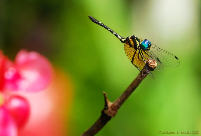 blue darner, anax immaculifrons