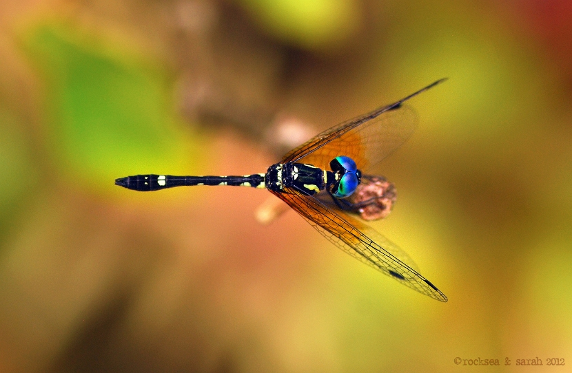 anax immaculifrons, blue darner
